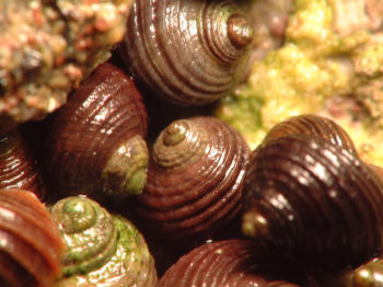 How does the habitat of a rough periwinkle affect its size?