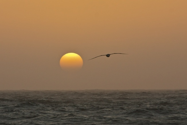 Albatross in the sunset
